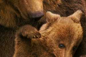 . @Disneynature's BEARS Movie Review #MeetTheCubs #DisneynatureBears